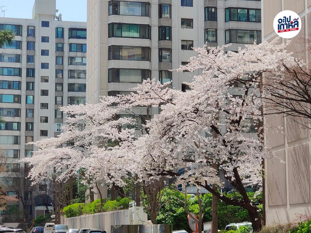 ชมซากุระ เกาหลี