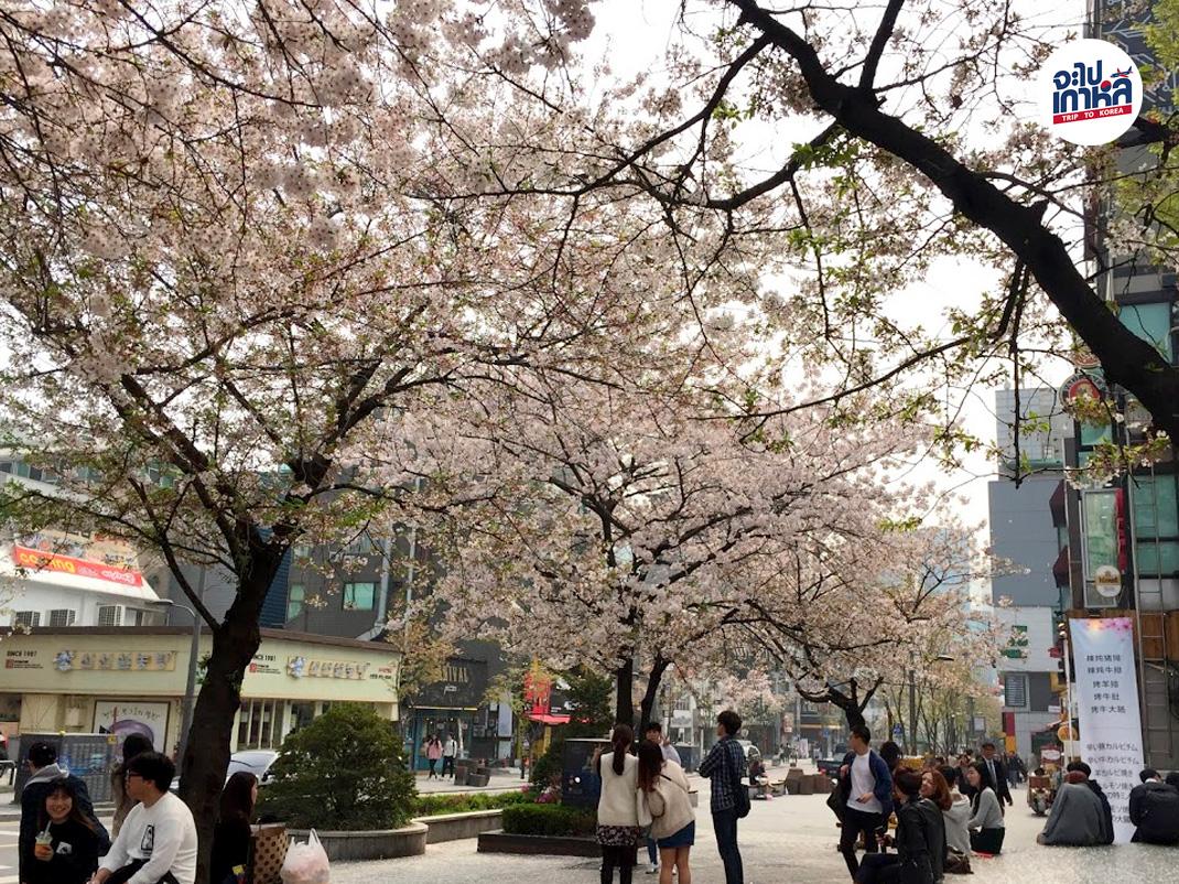 เทศกาล ชมดอกซากุระ พอดกด ที่เกาหลี
